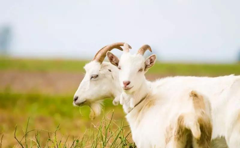 国产羊奶粉品牌正在蓬勃发展当中