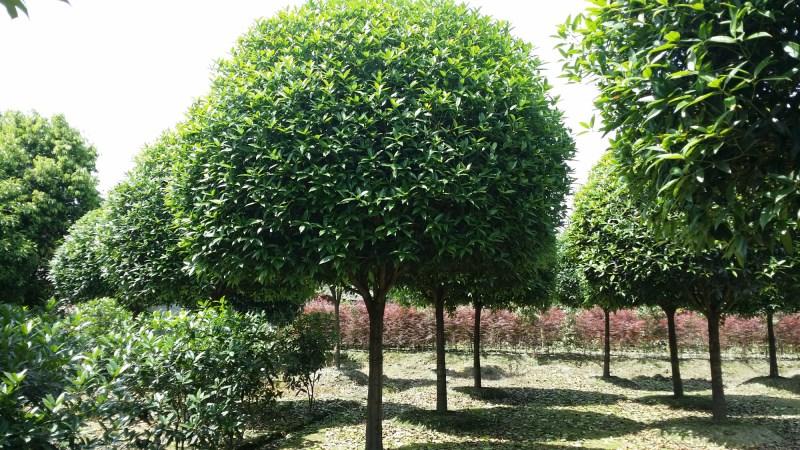 锦艺苗木,顶尖质量可靠的成都红花继木公司,几十年专业生产绿化