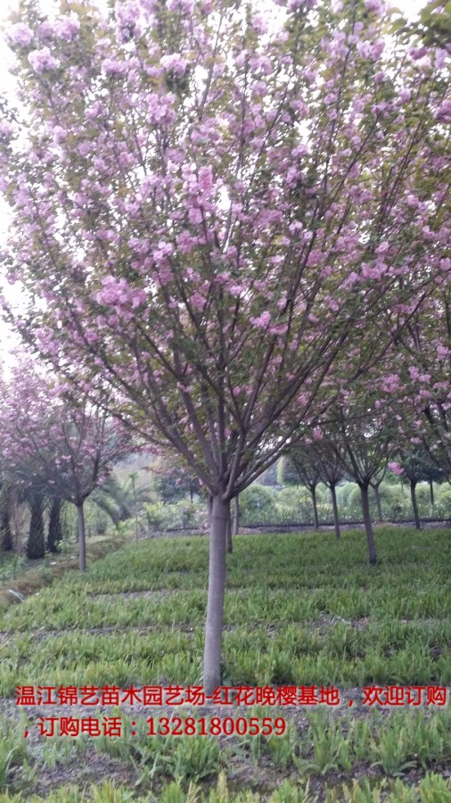 温江锦艺苗木专业生产樱花