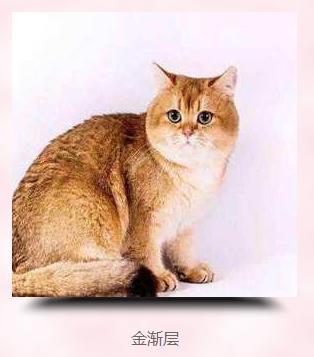 折耳猫一流品牌选择爱屋及乌布偶猫,质量可靠,用户至上
