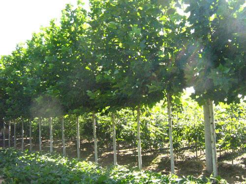 绿地家庭农场法桐专业供应商