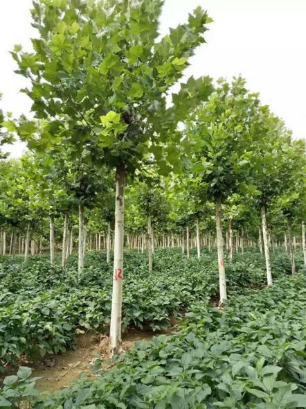 绿地家庭农场专业提供一站式郑州法桐批发商务服务,法桐、白蜡、