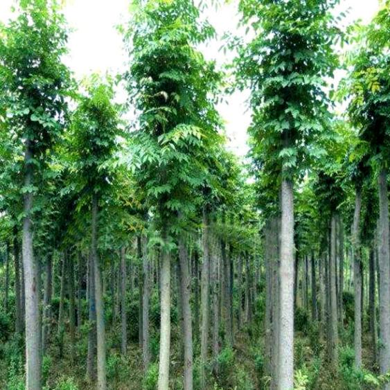 中国品牌新篇章,绿地家庭农场解读法桐树