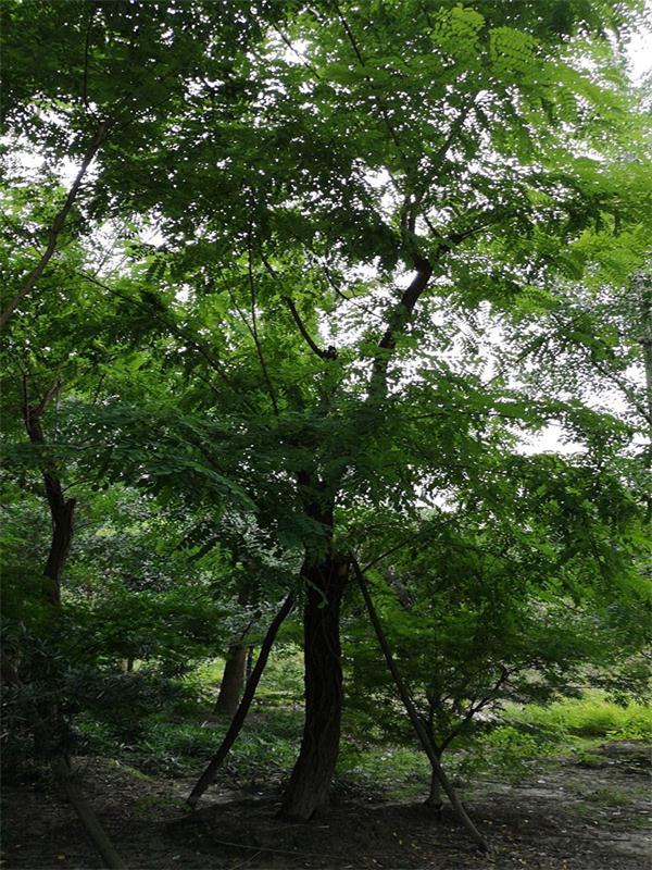树木直销生产供应