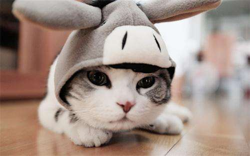 懒猫房子提供专业的英短猫产品