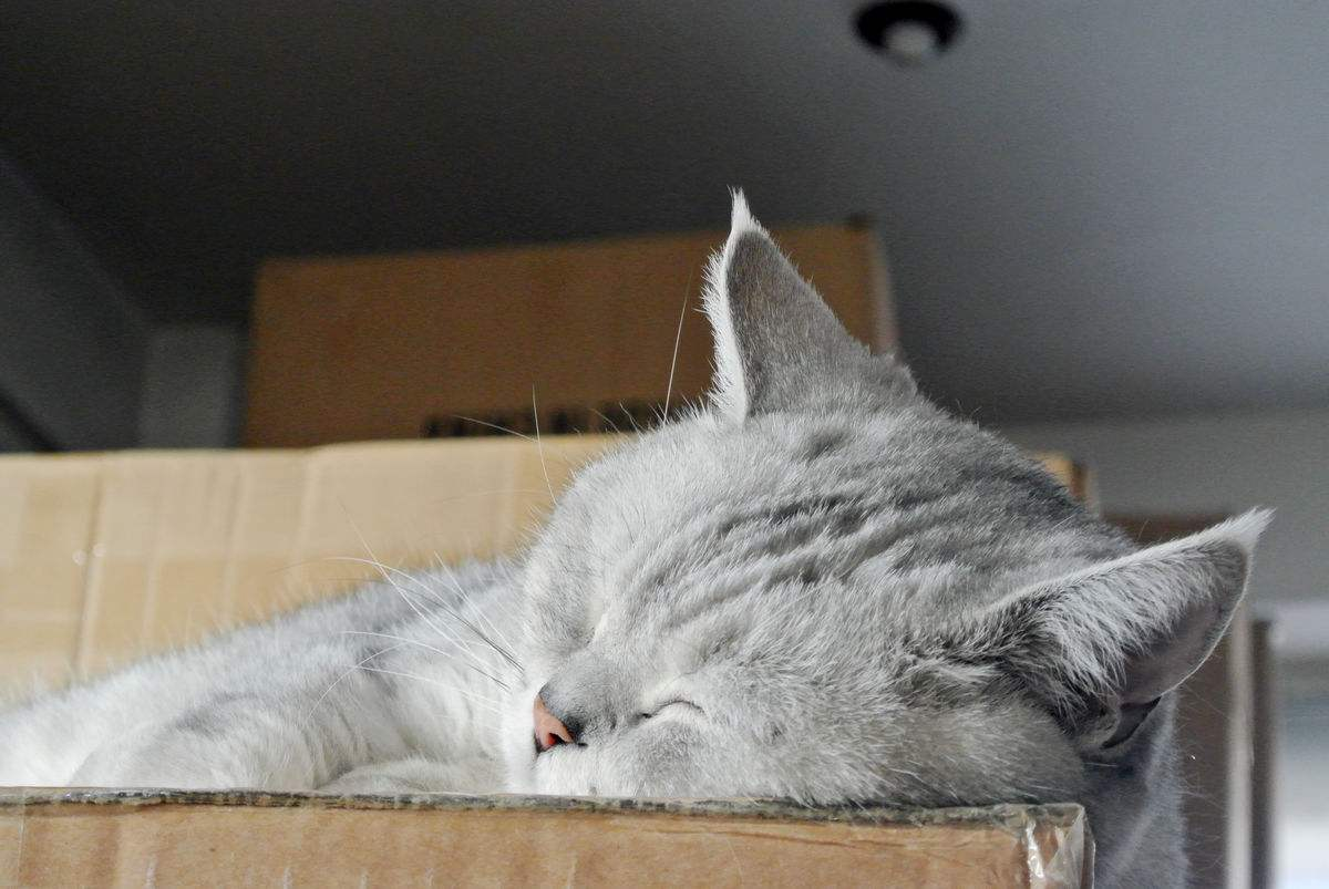 评价高的缅因猫是哪个缅因猫